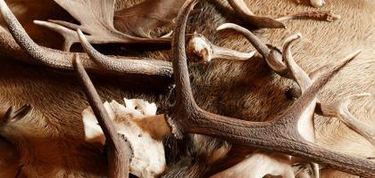 SCI Helvetia Chapter - La chasse aux trophées est-elle un outil de conservation?
