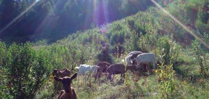 SCI Helvetia Chapter - Lutte naturelle contre l'envahisseur des Alpes: l'aulne vert - Projet caprin